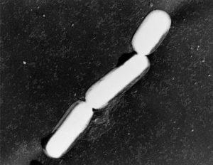 ウエルシュ菌